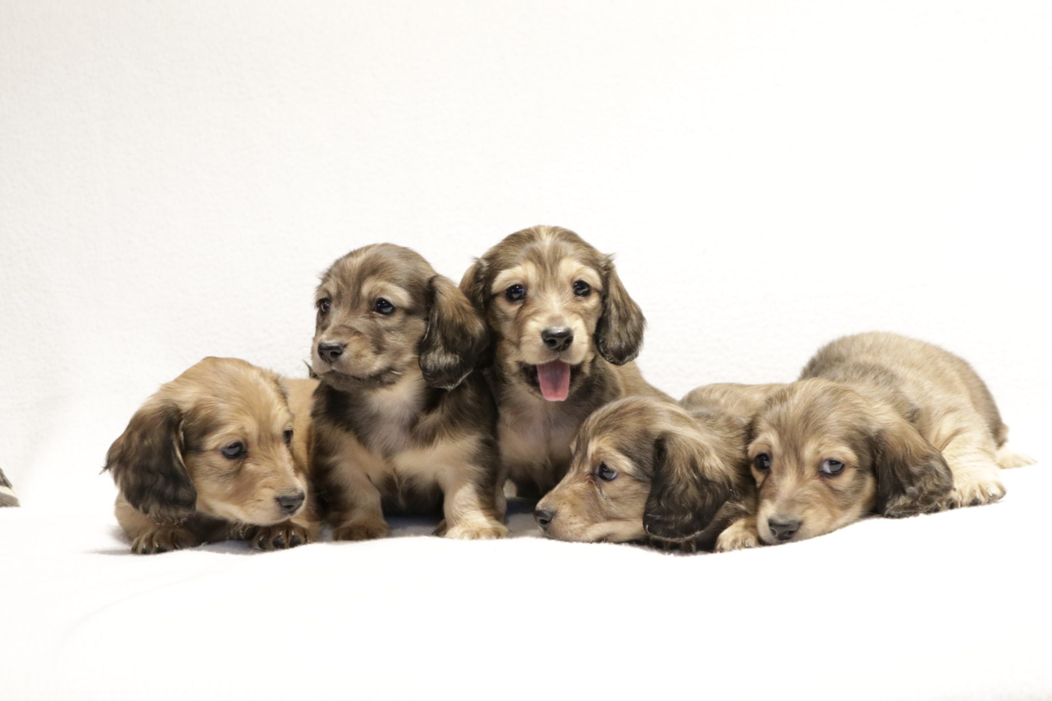 Miniature Dachshund English Cream Puppies For Sale Future Expected Litters